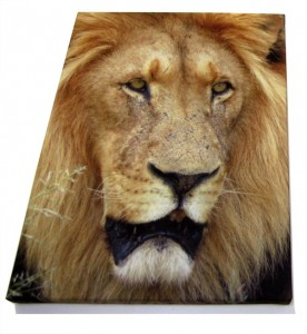 Close up of a lion on a photo canvas print