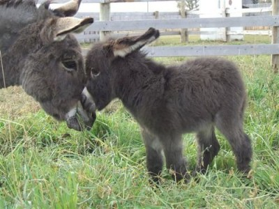 baby donkey with its mother