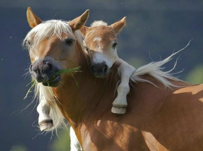 baby horse with its mother