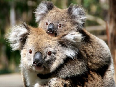 baby koala with its mother
