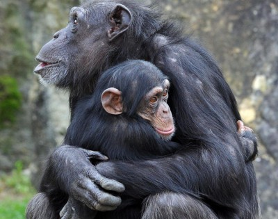 mother chimp hugging her child