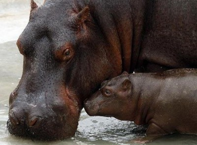 baby hippo with its mother