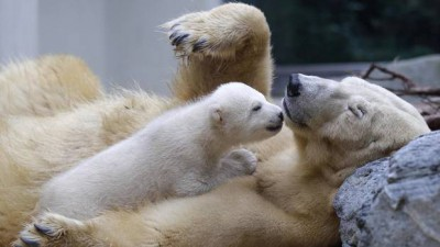 polar bear mother with her cub