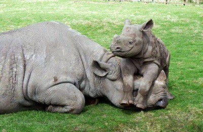 baby rhino with its mother