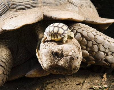 baby tortoise with its mother